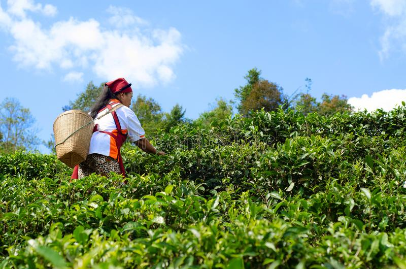 Gardeners collect tea leaves royalty free stock photography