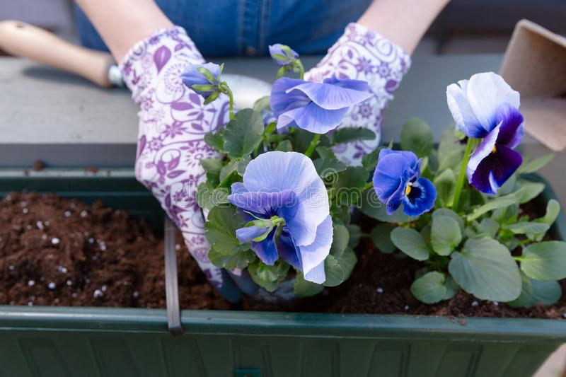 Gardeners hands planting flowers in pot with dirt or soil in container on terrace balcony garden. Gardening concept. In natural light stock photo
