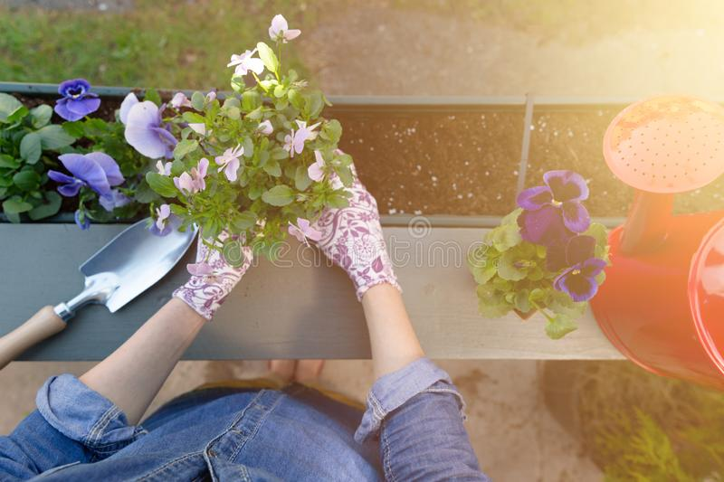 Gardeners hands planting flowers in pot with dirt or soil in container on terrace balcony garden. Gardening concept. In natural light stock images