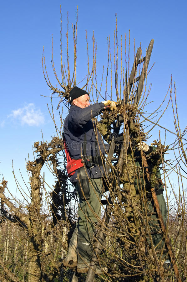 Gardeners prune willow trees, Netherlands royalty free stock images