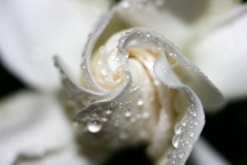 Gardenia stock foto's