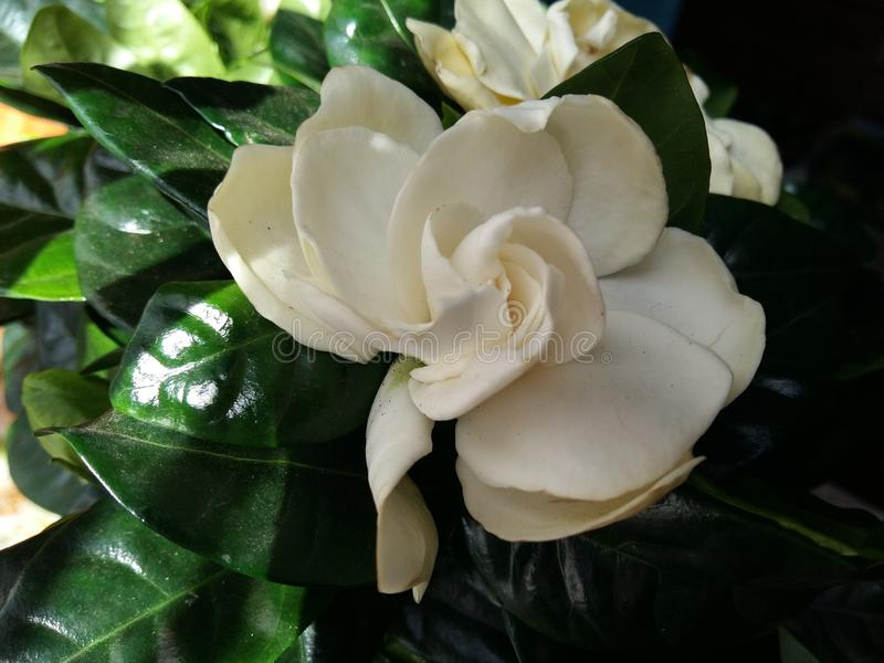 gardenia obraz stock