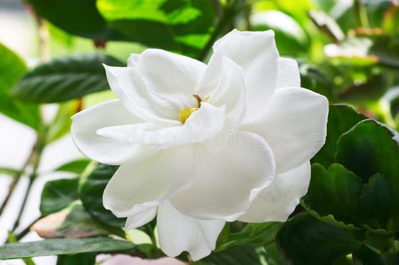 Gardenia lizenzfreie stockbilder