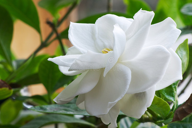 Gardenia imagem de stock royalty free