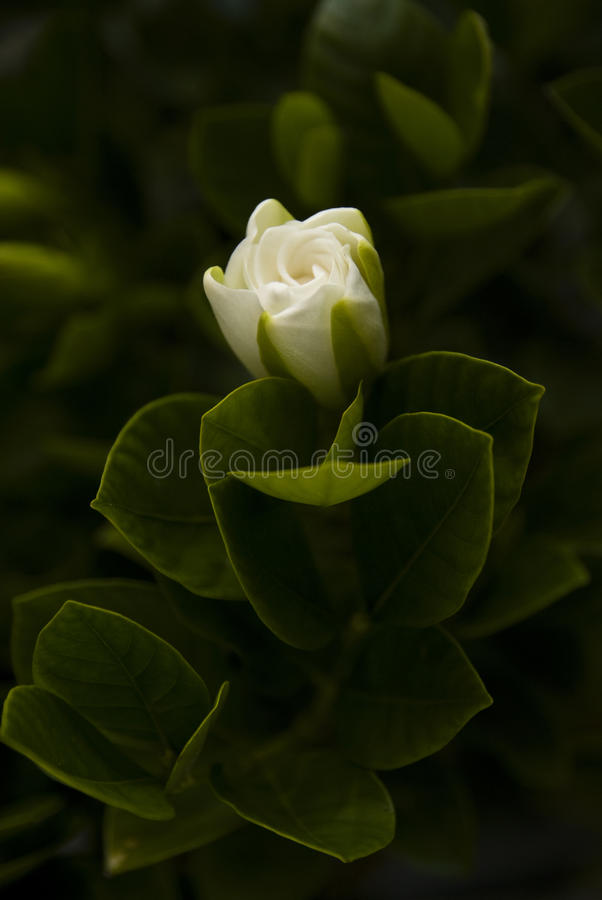 A Gardenia Augusta stock images