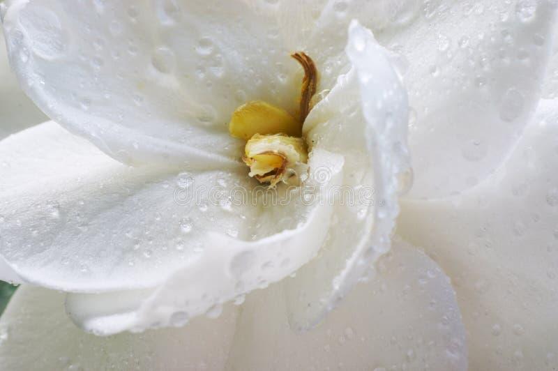 Gardenia bagnato immagine stock