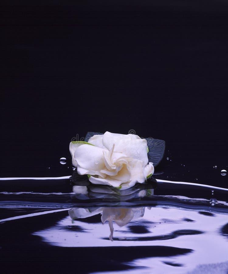 Gardenia on Black stock images