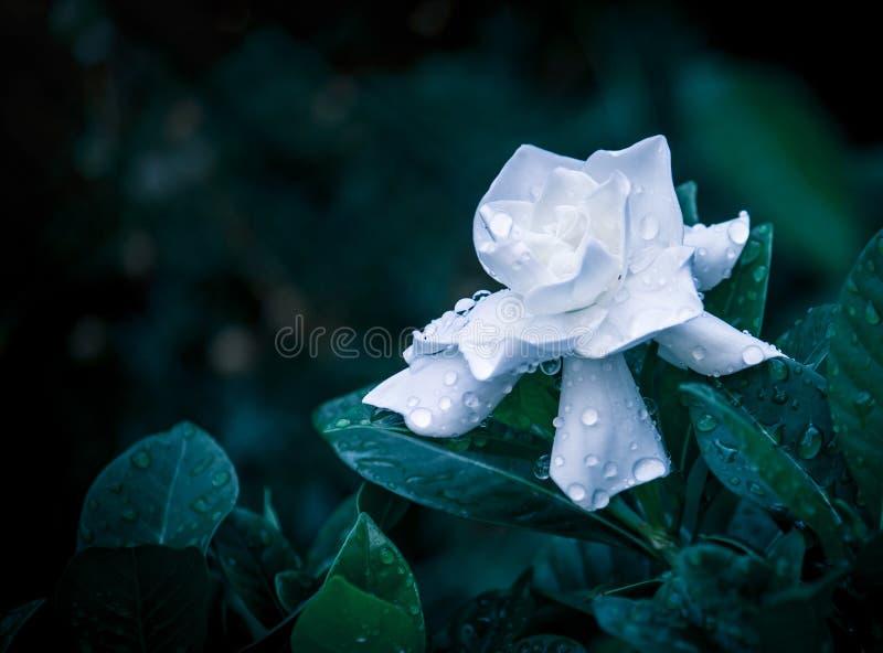 Gardenia Bloom royalty-vrije stock fotografie