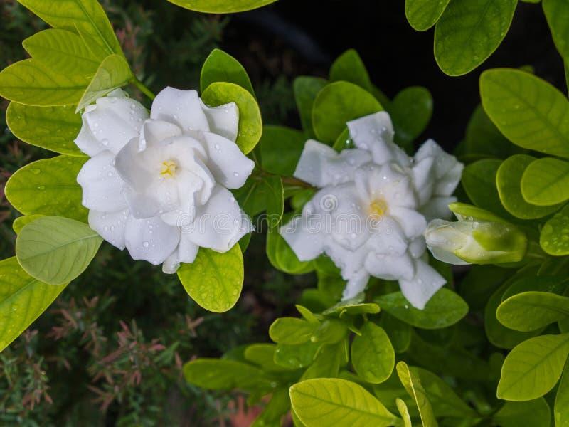 Gardenia Blooming blanca en la estación de lluvias imagen de archivo