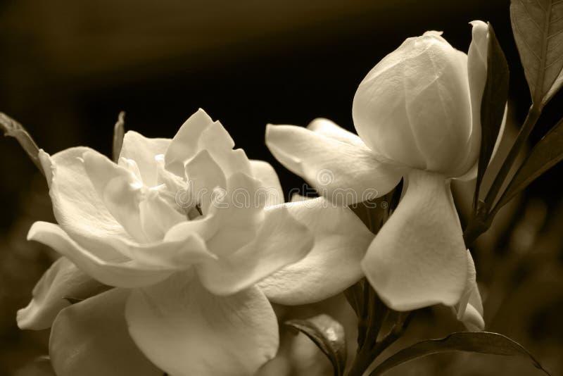 Gardenia Blooms royalty free stock photo