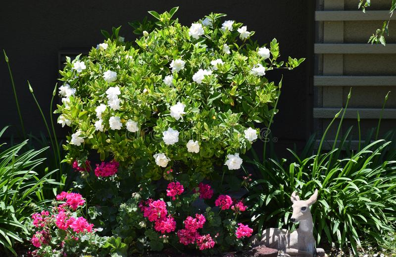 Gardenia bush in full bloom. stock photo
