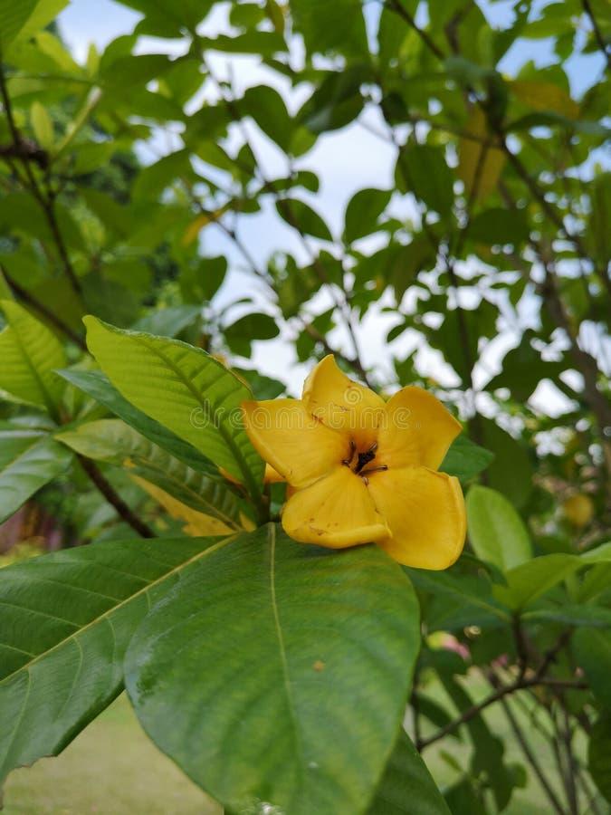 Gardenia carinataWallich yellow†‹flower†‹plantae†‹ royalty-vrije stock foto