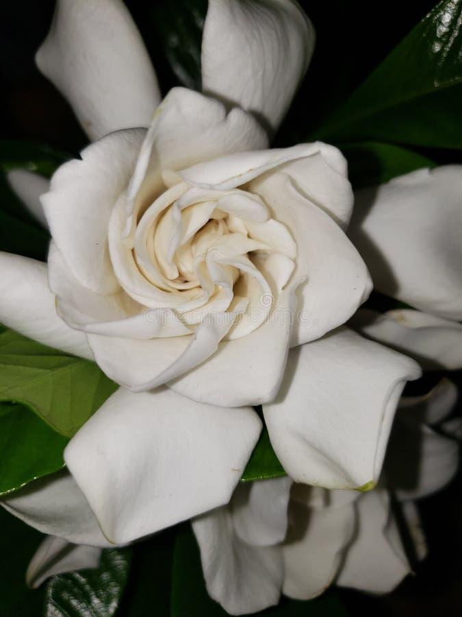 Gardenia in de zomer stock foto