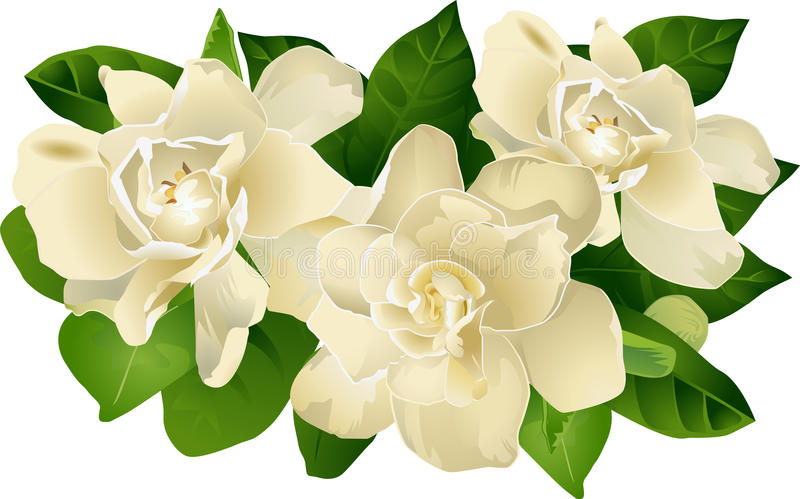 Gardenia Floral Grouping. Illustration of a Gardenia Floral Grouping in ivory, deep green leaves on an background