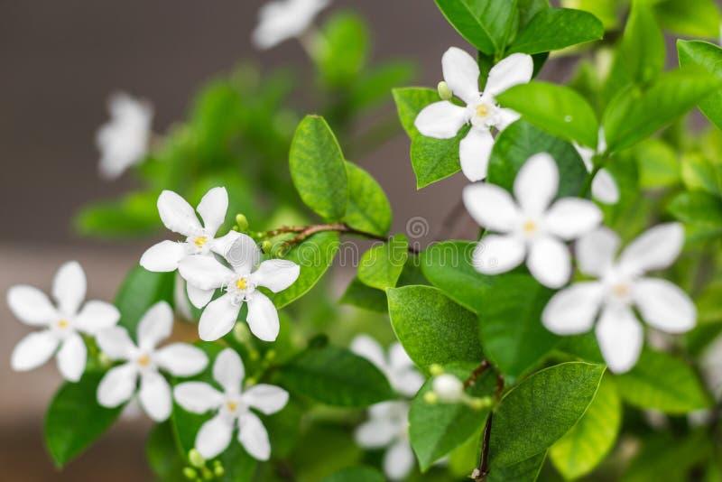 Download Gardenia flower stock photo. Image of ervatamia, bloom - 39510850