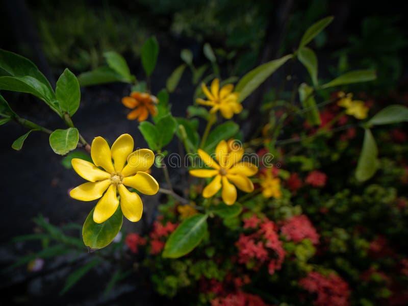 Gardenia Flowers Blooming amarela foto de stock royalty free