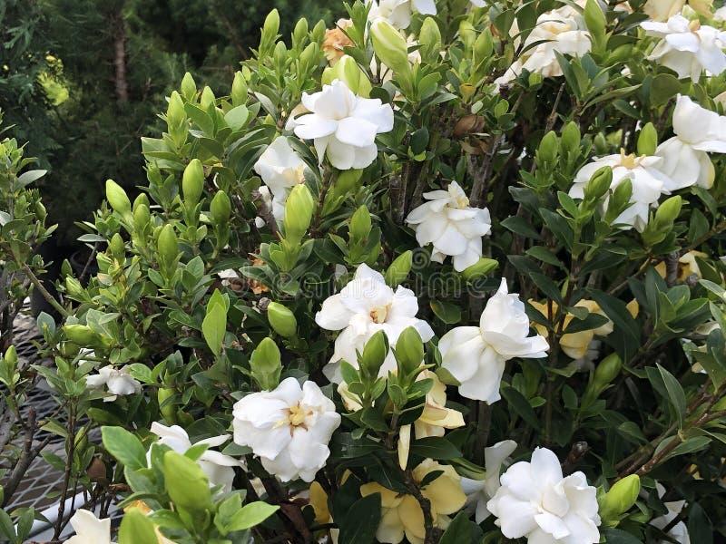 Gardenia Flowers branca foto de stock royalty free