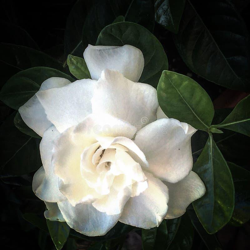 gardenia imágenes de archivo libres de regalías