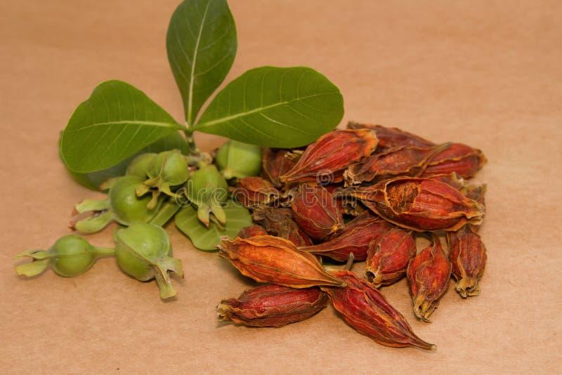 Gardenia Fruit, phytothérapie chinoise photo libre de droits