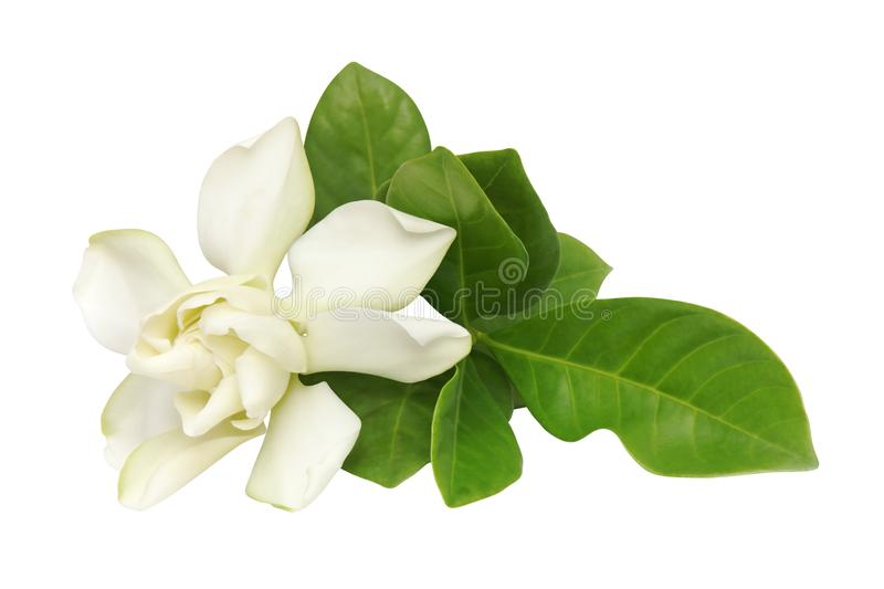 Gardenia jasminoides, Cape Jasmin Flower with Green Leaves Isolated on White Background stock images