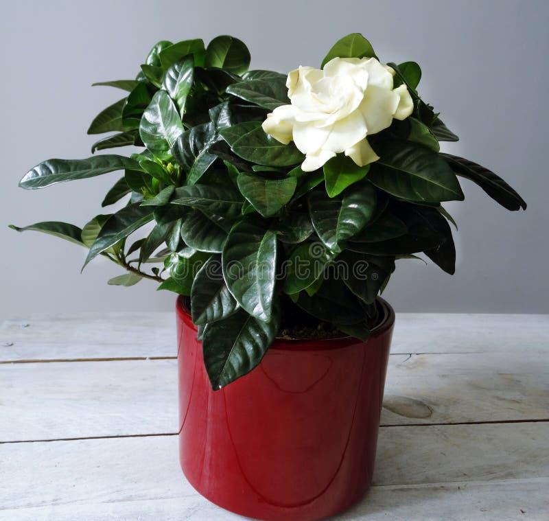 Gardenia kwiat w Czerwonym garnku zdjęcie stock