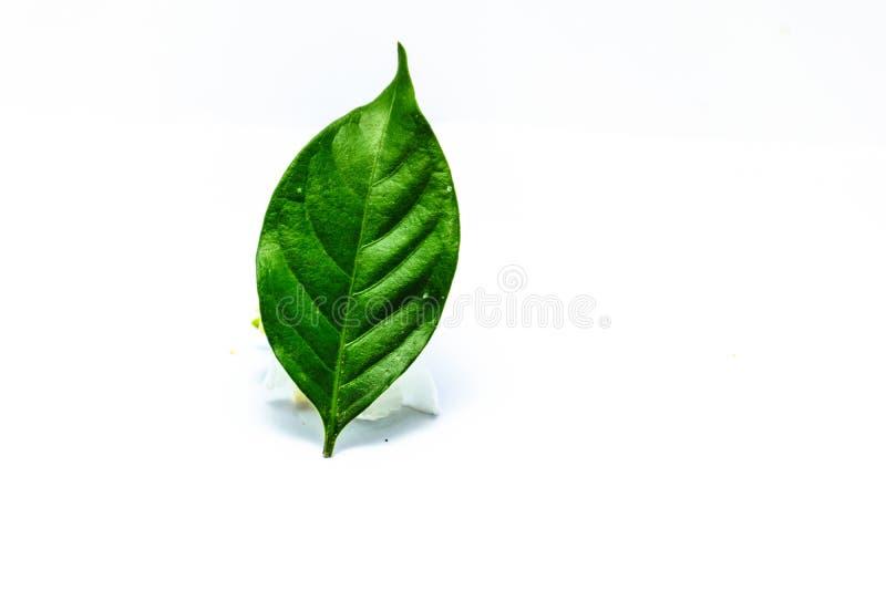 Gardenia leaf royalty free stock images