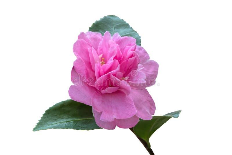 Gardenia na bielu zdjęcia royalty free