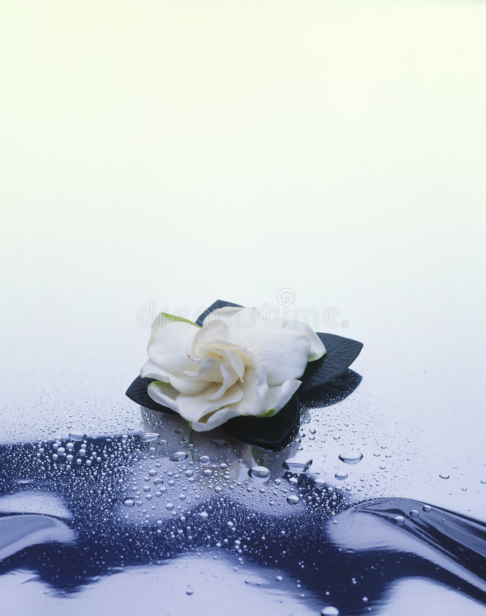 Gardenia op wit stock fotografie