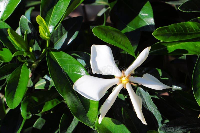 Gardenia Vietnam Snowflake images libres de droits