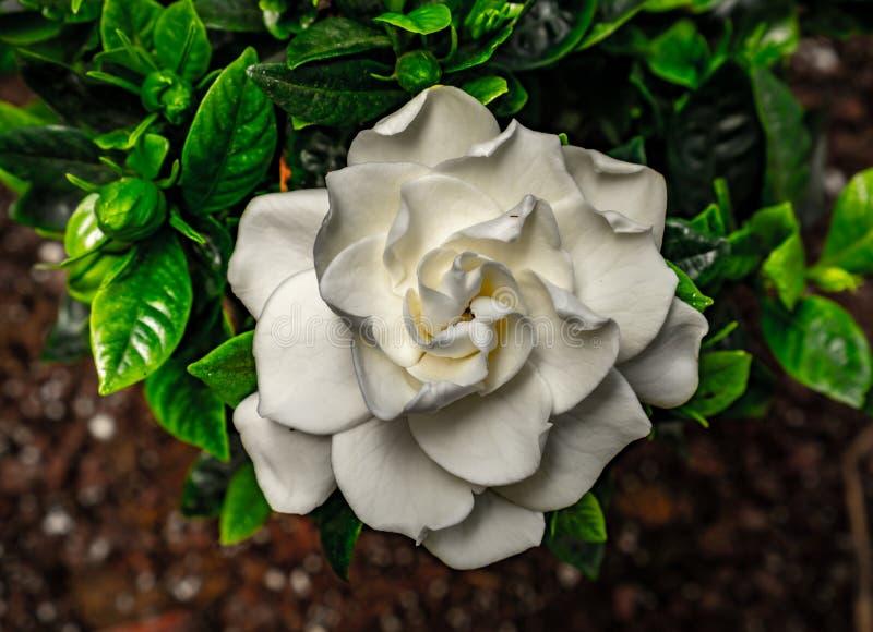 Gardenia, white and green colors stock photo