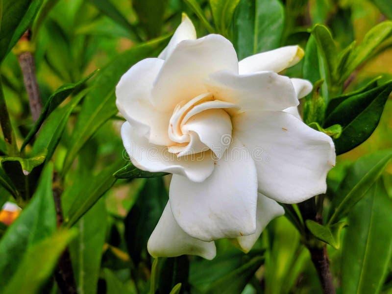 Gardeniabloem stock afbeelding