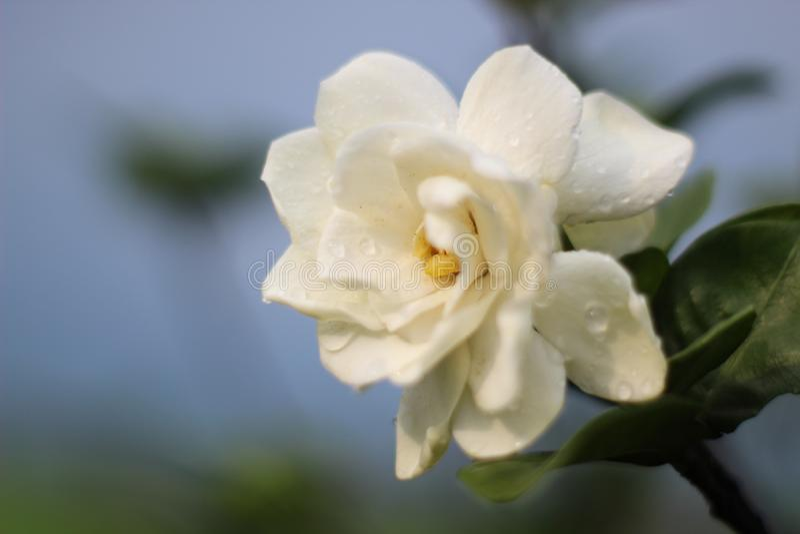 Gardeniablomma arkivbild