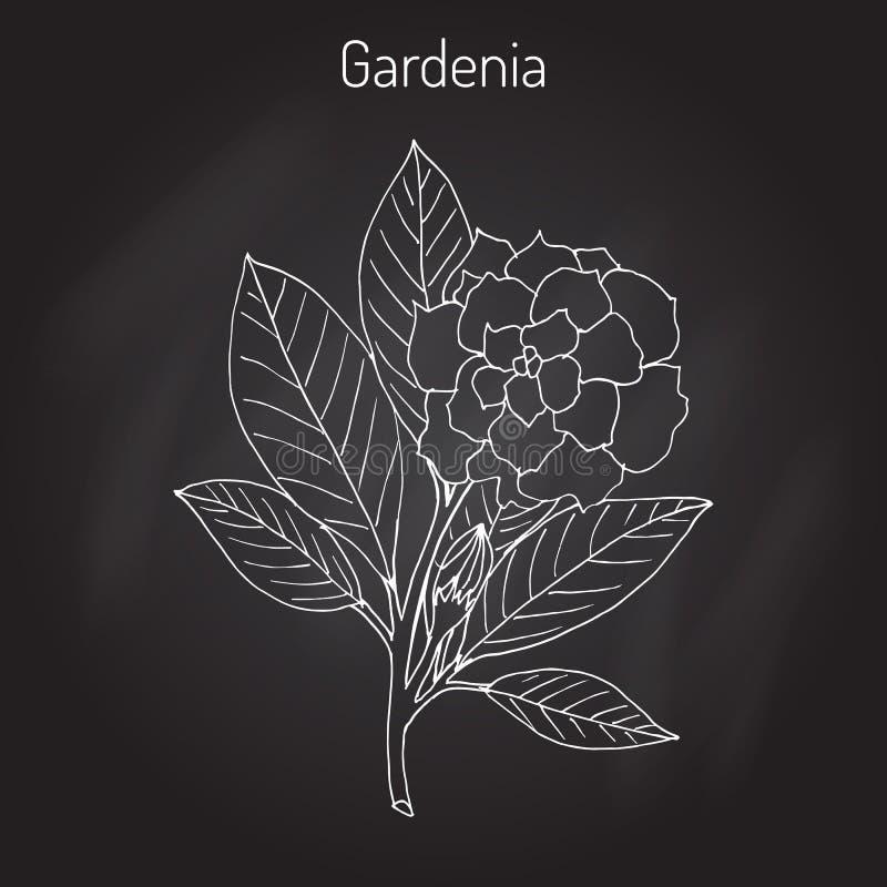 Gardeniajasminoides, gardenia stock illustrationer