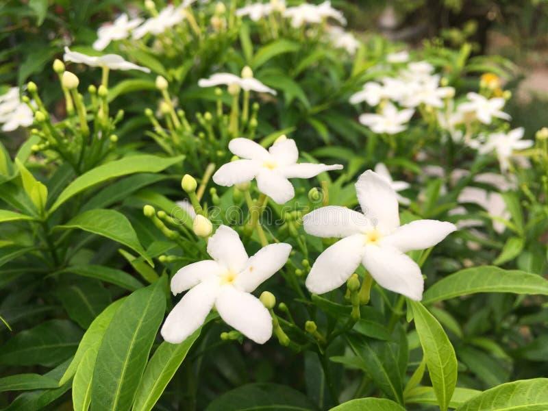 Gardeniajasminoidesblomma i naturträdgård royaltyfri bild