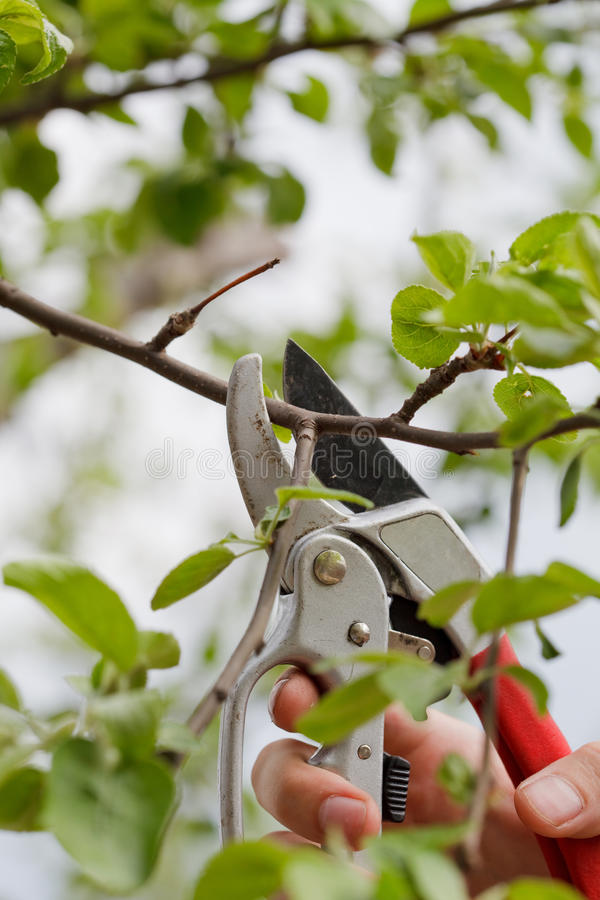 Gardening. Somebody trimming a bough of an apple tree stock photos