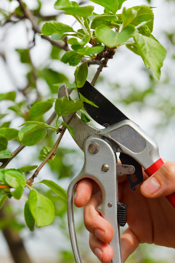 Gardening. Somebody trimming a bough of an apple tree stock photo