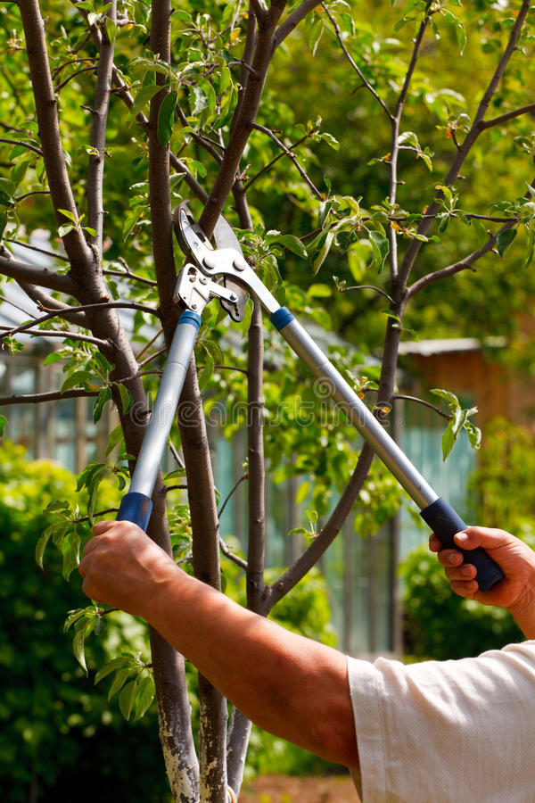 Gardening. Somebody trimming a bough of an apple tree royalty free stock photos
