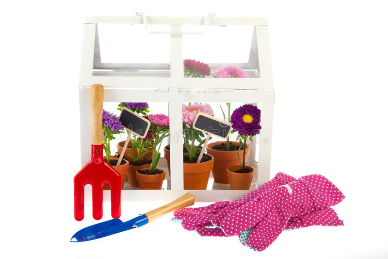 Gardening Asters Stock Photo