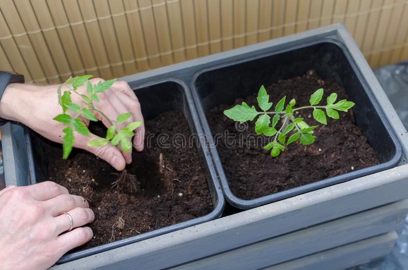 Gardening on the balcony. Mans hands plant small tomato in the plastic pot. Close up.  royalty free stock photos