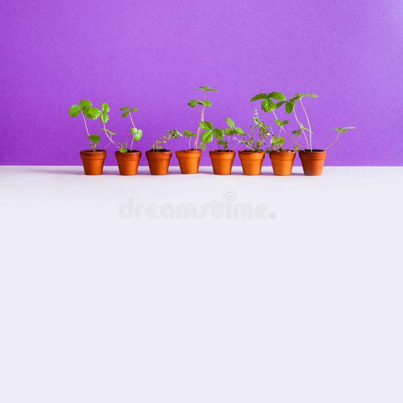 Gardening breeding background. 8 flower pots with young sprouts sprigs of wild strawberry and thyme. Garden plants with. Green leaves in brown clay pots. Purple stock images