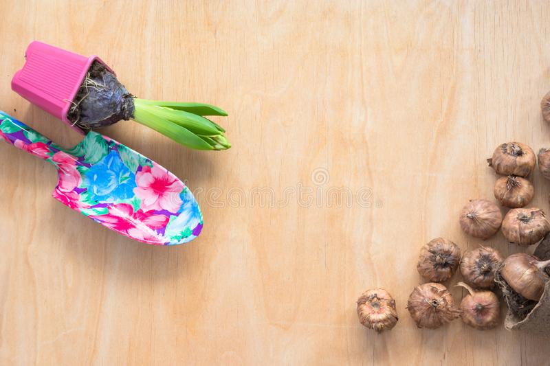 Gardening concept. Seedling hyacinth, garden tools, tubers-bulbs gladiolus. Copy space. Spring background. Gardening concept. Seedling hyacinth, garden tools royalty free stock photography