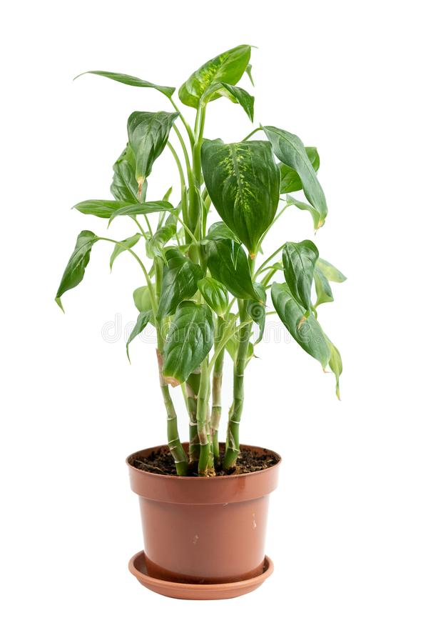 Plant growing in brown flowerpot isolated on white background. Gardening concept. Vertical photo of small fresh and green plant growing in brown flowerpot royalty free stock photo