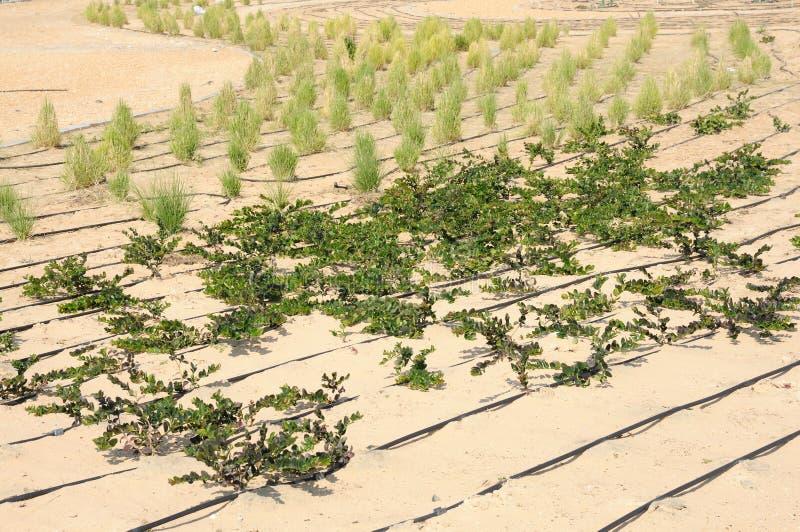Gardening In Dubai Stock Photo