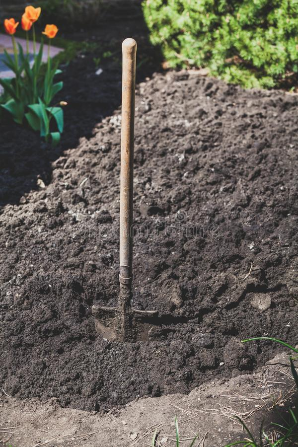 Bayonet spade sticks out in ground. Gardening equipment. A bayonet with a wooden handle sticks out in the ground stock photos