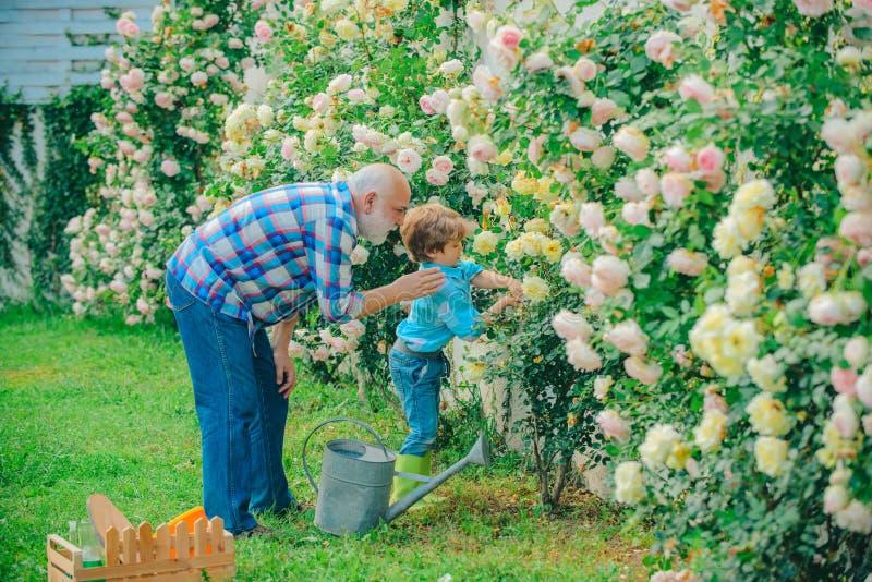 Gardening - Farfaderträdgårdsmästare i trädgårdsrosor Gardener i trädgården Lilla hjälppersonal i trädgården fotografering för bildbyråer