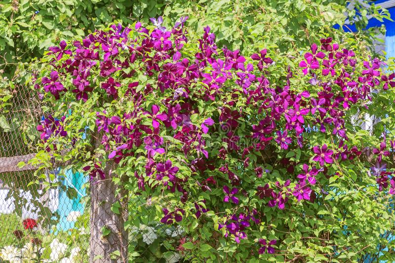 Gardening, flower growing and garden decor. Beautiful bright woven garden plant. Blooming purple clematis flower on a backyard royalty free stock image