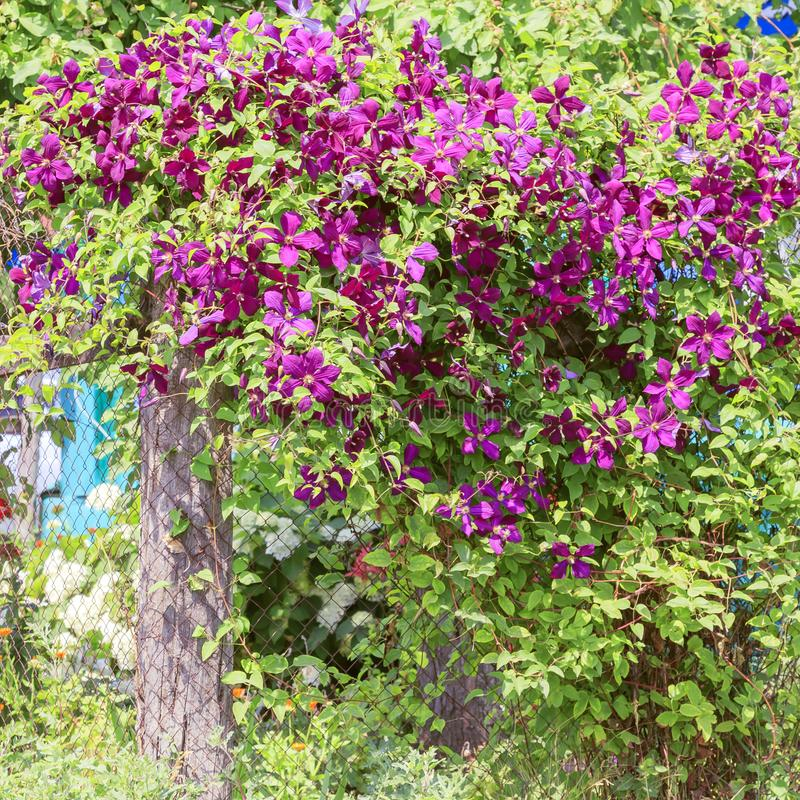 Gardening, flower growing and garden decor. Beautiful bright woven garden plant. Blooming purple clematis flower on a backyard stock photography