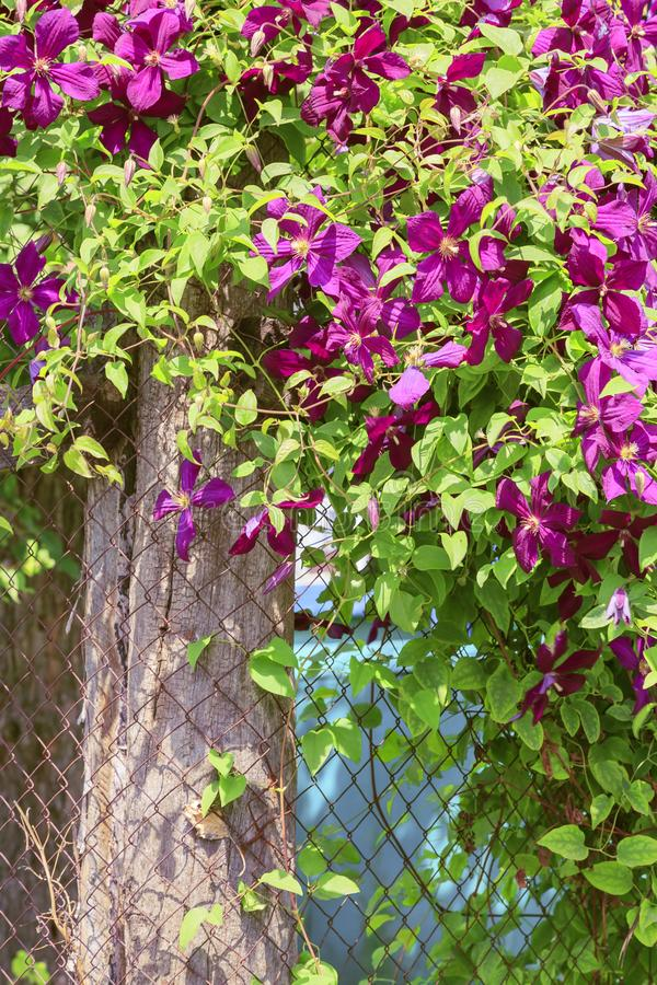 Gardening, flower growing and garden decor. Beautiful bright woven garden plant. Blooming purple clematis flower on a backyard stock images