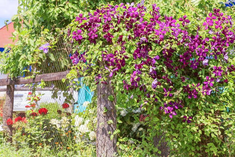 Gardening, flower growing and garden decor. Beautiful bright woven garden plant. Blooming purple clematis flower on a backyard stock photo