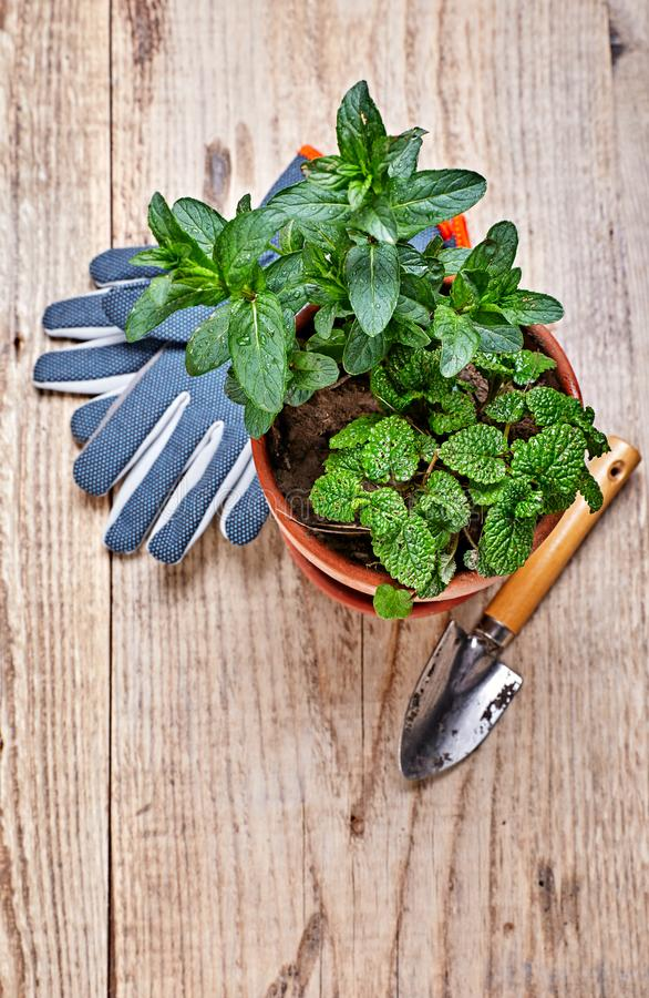 Gardening and garden plants mint melissa royalty free stock images